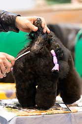 © Licensed to London News Pictures. 10/03/2016. A dog owner grooms their dog before a judging competition. Crufts celebrates its 12th anniversary as the Worlds largest dog show. Birmingham, UK. Photo credit: Ray Tang/LNP