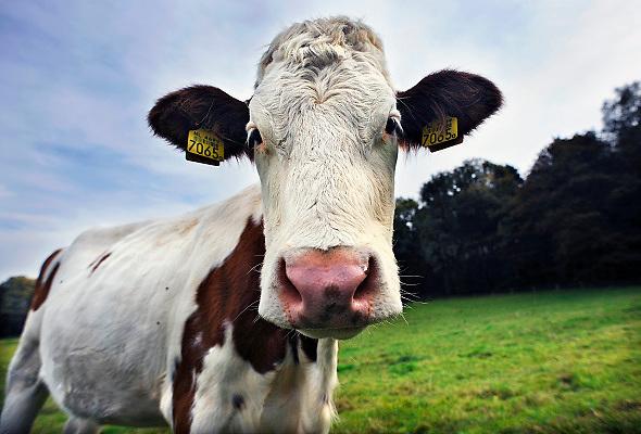 Nederland, Ubbergen, 22-10-2008Jonge koe in een wei.Foto: Flip Franssen/Hollandse Hoogte