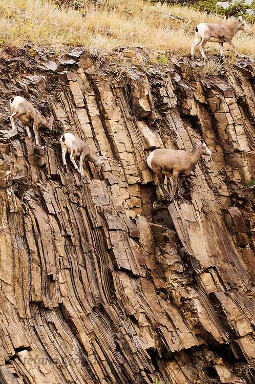 CANADA, Jasper National Park.Bighorn sheep (Ovis canadensis) on rocky cliff