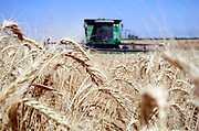 Combine harvester wheat Harvesting close up