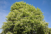 Aesculus hippocastanum horse chestnut tree in blossom against blue sky