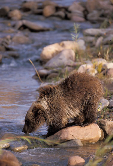 Grizzly Bear, (Ursus horribilis) Cub drinking at river in southwest Montana.  Captive Animal.