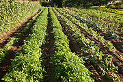 Basil and swiss chard plants on a in rows on a farm or large garden.