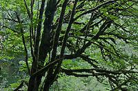 Mossy Big Leaf Maple (Acer macrophyllum) tree trunks at Anderson Landing Preserve on the Kitsap Peninsula of Washington  vertical panorama