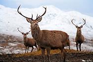 Deer Trio in Snowy Mountains