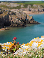 Wild Sedum growing on cliff tops at Stackpole, Pembrokeshire, South Wales