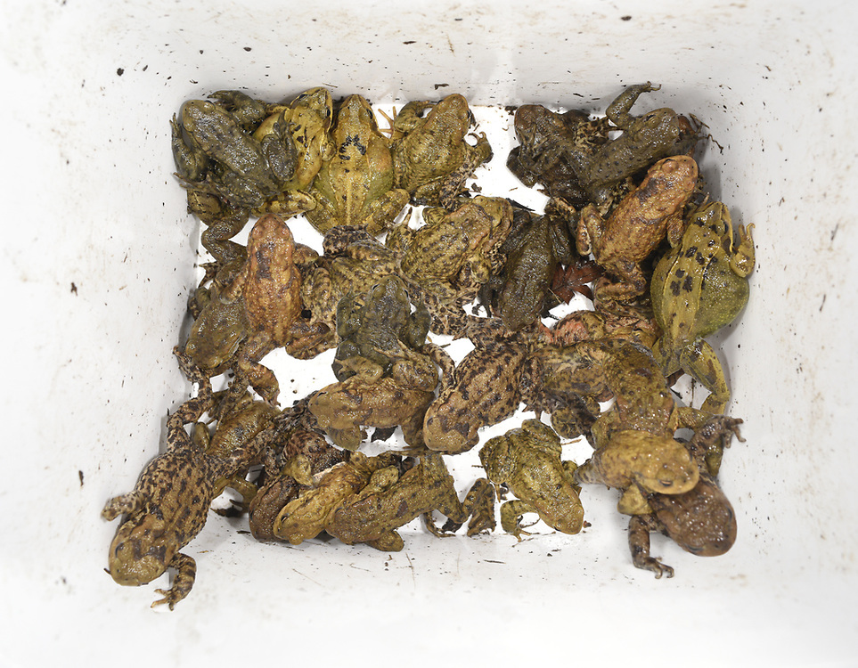 Rescued toads and frogs collected by volunteers at one of Britain's many toad patrols undertaken at known crossing sites in early spring.