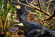 Brillenkaiman (Caiman yacare) in einem Seitenfluss des Rio Paraguay im s&uuml;dlichen Pantanal, Brasilien<br /> <br /> Yacare caiman scenes in an inlet of the Rio Paraguay in the southern Pantanal, Brazil
