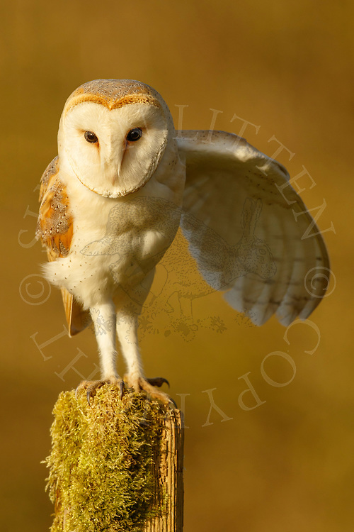 Barn Owl (Tyto Alba) adult perched on post stretching wing, Norfolk, UK.