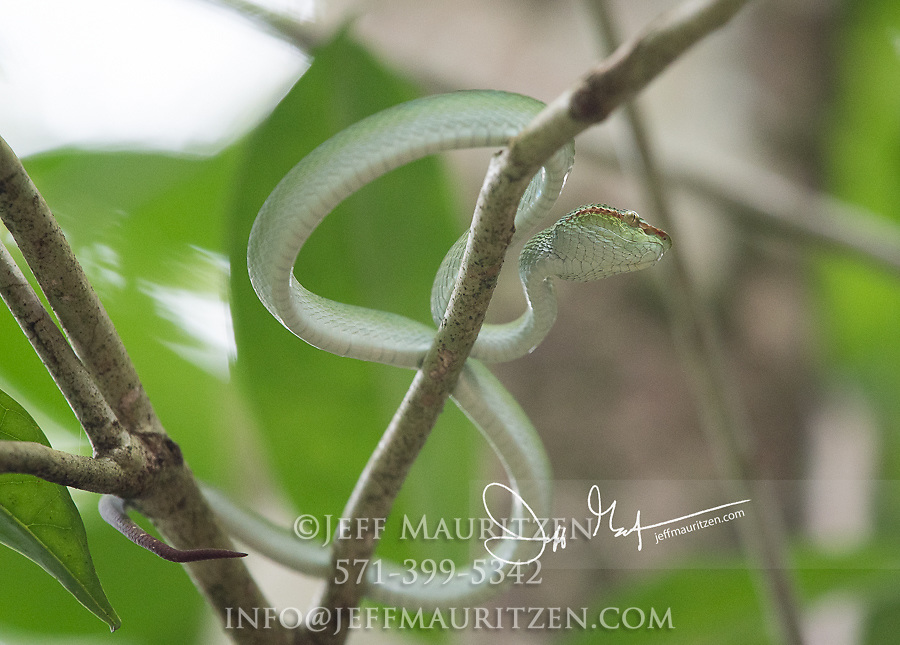 Wagler's Pit viper, Tropidolaemus wagleri rests in a tree in Bako National Park, on the Malaysian part of the island of Borneo.