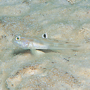 White-Eye Goby inhabit well offshore, deep sand flats and areas of gravelly rubble in South Florida and Caribbean; picture taken Key Largo, FL.