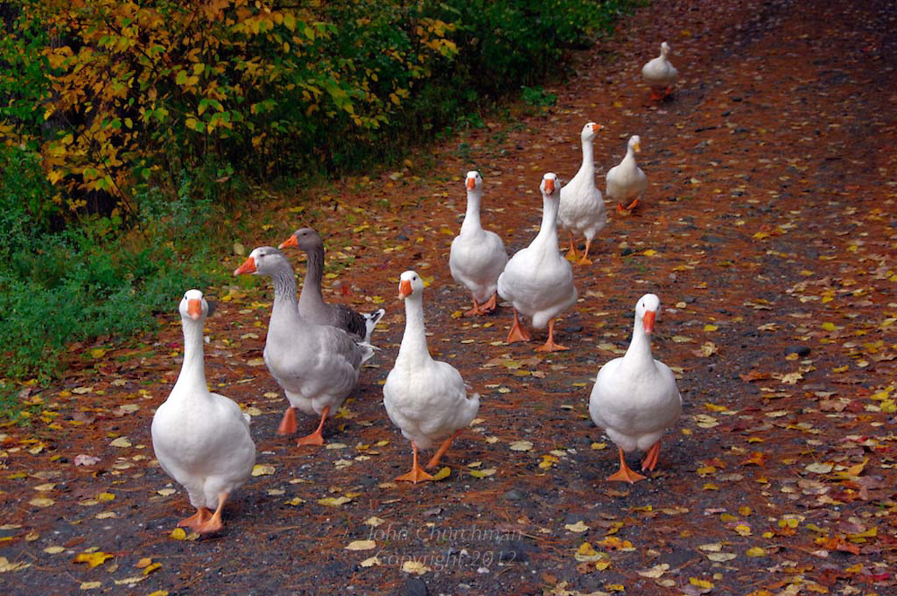 Line of Emden, Toulouse geese and Peking ducks coming home for the evening in the fall