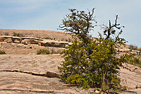 Trees, cactus and shrubs grow in the cracks between the rock slabs at Enchanted Rock State Natural Area. Texas.