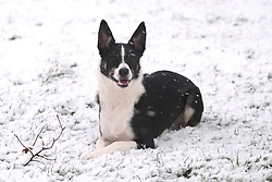 Snow in West Lothian, 10 February 2020<br /> <br /> Following on from the destruction of Storm Ciara, heavy snow started to fall in West Lothian this afternoon<br /> <br /> Pictured: A border collie has fun with it's ball in the snow<br /> <br /> Alex Todd | Edinburgh Elite media