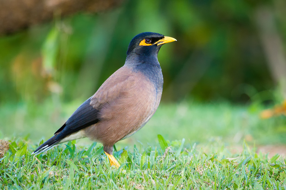 A common myna stands in short grass.  This rapidly expanding invasive species adapts extremely well to urban environments.