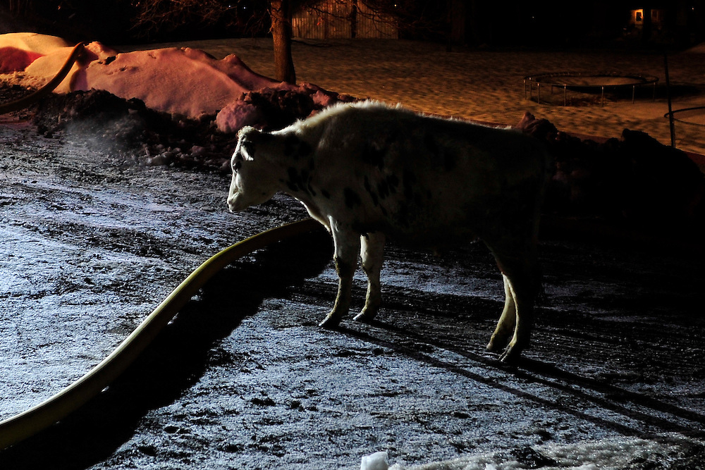 Firefighters are called to a barn fire at 559 Old Carriage Road in Allen Township Monday evening Feb. 9th, 2015, in Northampton. Initial reports indicated that 40 cows were trapped in the barn at the dairy farm. (Chris Post | lehighvalleylive.com)