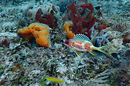 Longspine squirrelfish-Marignon soldat (Holocentrus rufus), Playa del carmen, Yucatan peninsula, Mexico.