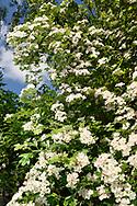 Common Hawthorn - Crataegus monogyna