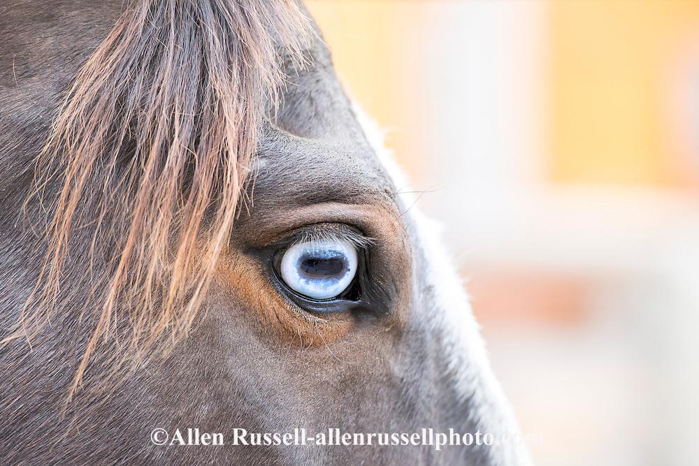 Blue eye, horse, Equus caballus, PROPERTY RELEASED