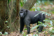 This 30 year old Celebes Crested Macaque is lead the group of 35 apes. | Das dominante Männchen der 35 köpfigen Truppe ist 30 Jahre alt.