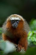 Red Titi Monkey (Callicebus discolor) CAPTIVE <br /> Yasuni National Park, Amazon Rainforest<br /> ECUADOR. South America<br /> HABITAT & RANGE: Range of forest types from Colombia, Ecuador and Peru.