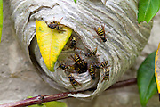 Common wasps, Vespula vulgaris, yellowjacket, with wasp nest, in the Cotswolds, Oxfordshire, UK