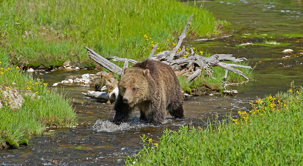 Grizzly bears have very large home ranges. This allows them to move from one food source to another if a particular food source fails. Adult males average 875 square miles, subadults males 700 square miles and females without cubs 230 square miles.