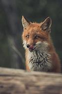 A young red fox (Vulpus vulpus) licks his lips. Yukon Territory, Canada