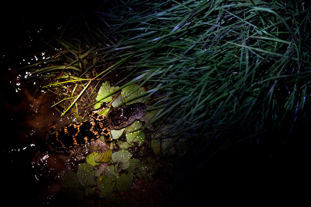 A baby alligator crawls into the vegetation on shore at Lake Trafford in Immokalee on The first day of alligator hunting season in Florida. The Florida Fish and Wildlife Conservation Commission, tasked with managing the protected but no longer endangered animal, issued 36 permits for Lake Trafford this year -- 5,625 permits at all 67 state hunting sites. Greg Kahn/Staff