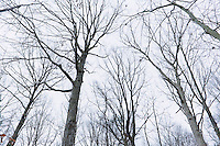 Looking up at Winter tree's in a hardwood forest in Maryland.