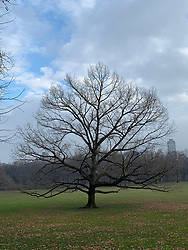 Lone tree in Winter standing in Central Park, NY