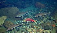 Sockeye Salmon (with Coho Salmon and Rainbow Trout)<br />