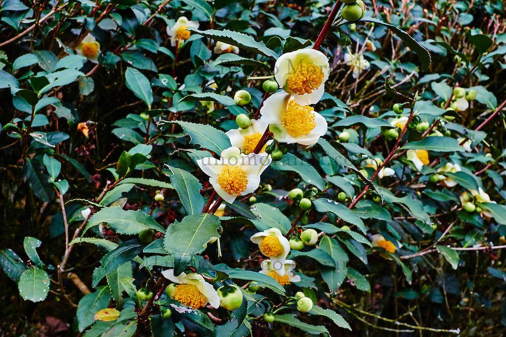 Chine, Province du Fujian, village de Huaiyuan Lou, culture du thé vert Olong // China, Fujian province, Huaiyuan Lou village, Olong green tea culture