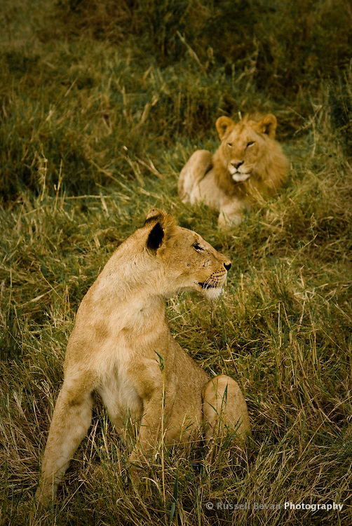 A juvenile brother & sister from the marsh lion pride sitting in grass, Masai Mara National Park, Kenya