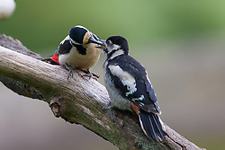 © Under license to London News Pictures. 27/06/203. Droitwich Spa, UK. A Great Spotted Woodpecker feeding its young. A little owl and a Great Spotted Woodpecker come face to face as they clash over food while feeding their young in a nature reserve in Droitwich Spa, Worcestershire. The rare and beautiful images were captured by wildlife photographer Ian Schofield while out bird watching. Photo credit should read IAN SCHOFIELD/LNP