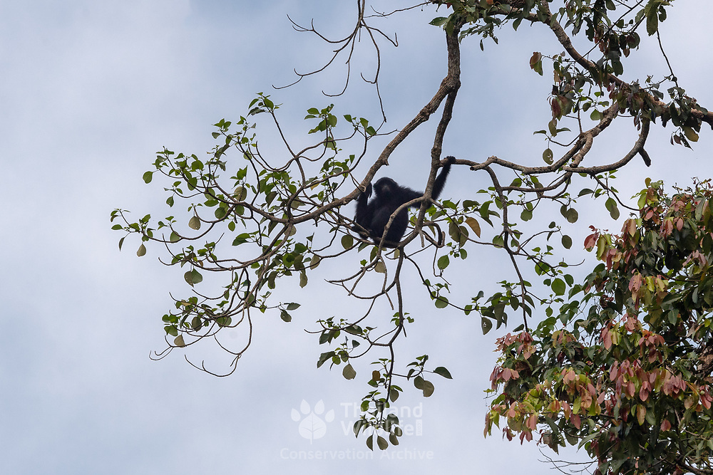 The siamang (Symphalangus syndactylus) is an arboreal black-furred gibbon native to the forests of Indonesia, Malaysia and Thailand. The largest of the gibbons, the siamang can be twice the size of other gibbons, reaching 1 m in height, and weighing up to 14 kg. The siamang is the only species in the genus Symphalangus. In Thailand it is very difficult to actually see the siamang and it is restricted to the Hala Bala Wildlife Sanctuary.