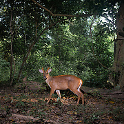 Muntjac deer, also called the mastreani deer, is a group of small deer found mainly in Southern Asia. Muntjac deer is also widely known as the barking deer, due its unique cry that resembles the bark of a dog