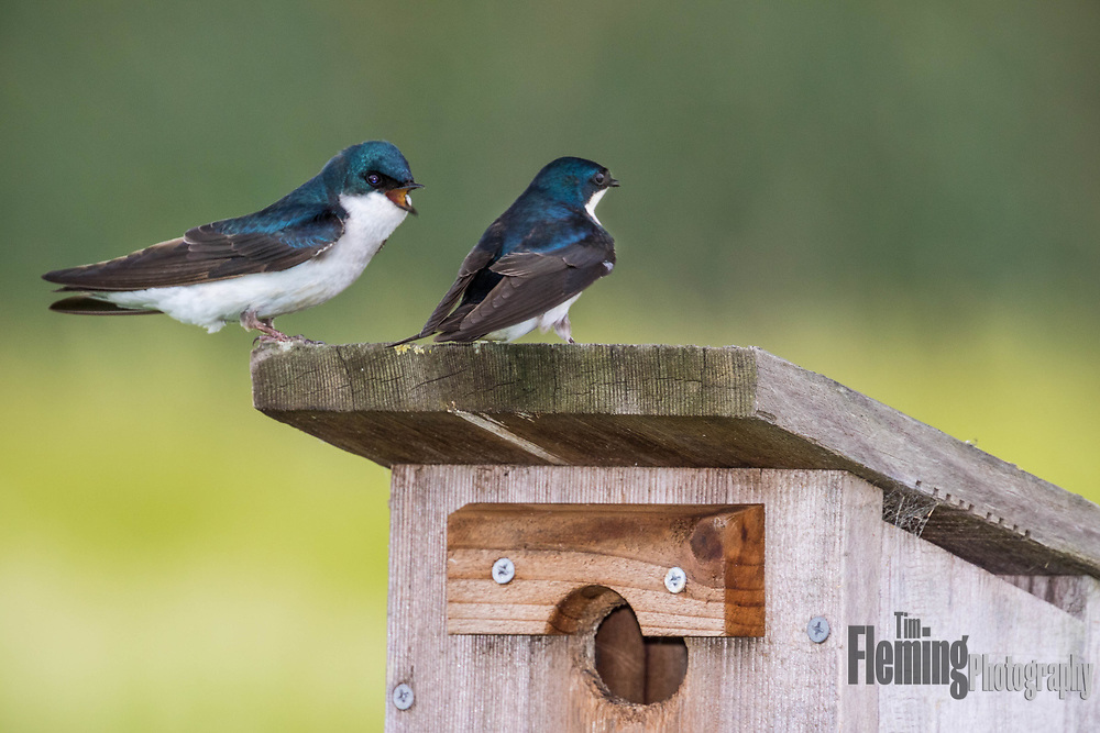 Tree swallows on nest box, Ellis Creek Water Recycling Facility, Petaluma, California