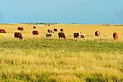 Cattle<br /> Hodgeville<br /> Saskatchewan<br /> Canada