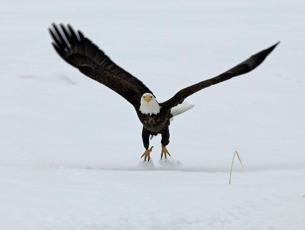 Bald Eagle taking off in the snow, Utah