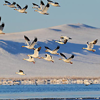 flock of snow geese take off in masses, freezeout lake, montana rocky mountain front, crown of the continent
