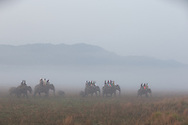 Asian elephant, Kaziranga National Park, India