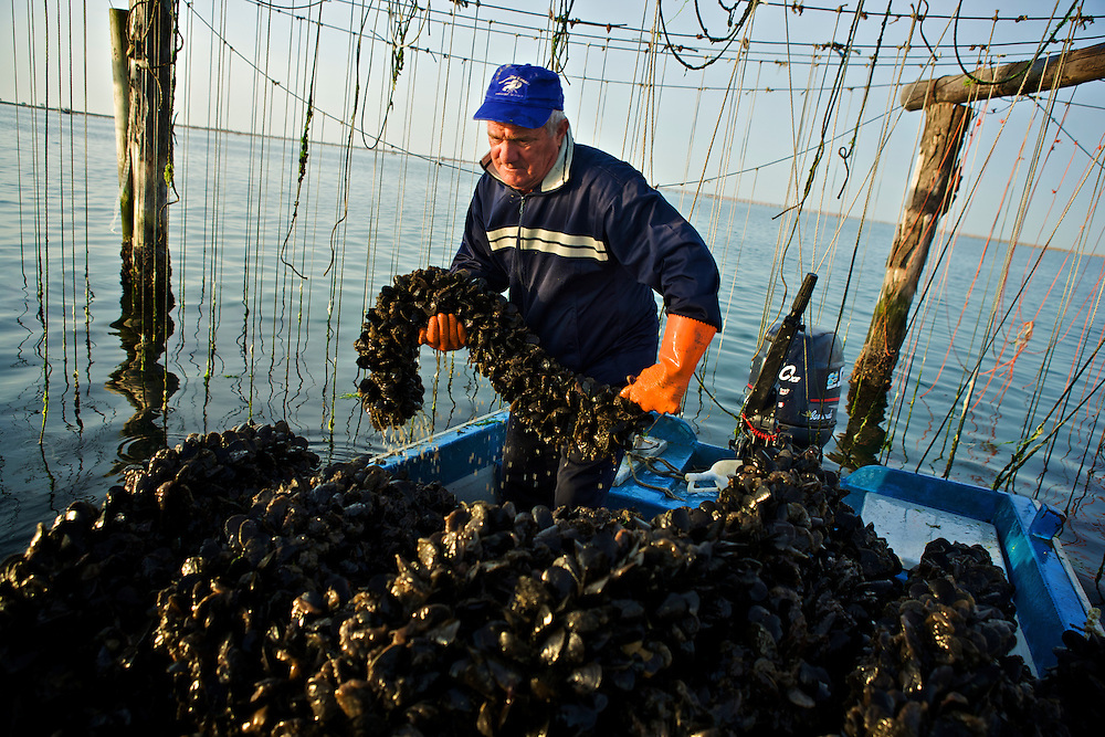 Mussel production consist in collecting the mussels, washing it, and putting it in to bags. Then they are distributed by the consortium.