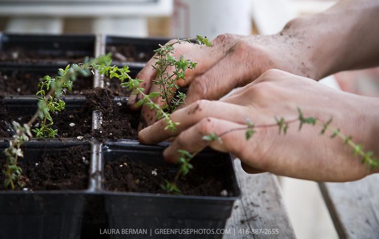 Thymus vulgaris, garden thyme..