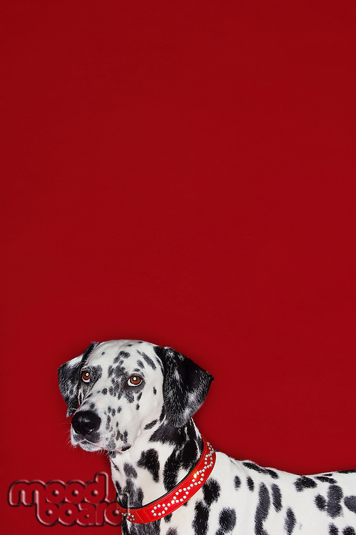 Dalmatian standing head and shoulders