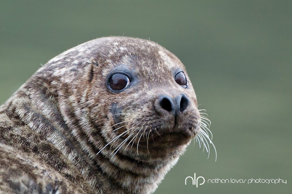 Harbor seal portrait with green water;  British Columbia in wild.