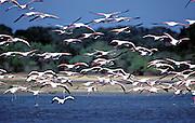Greater Flamingo ( Phoenicopterus ruber). Yala National Park.