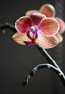 Bright pink spots scattered across peachy petals make this tiny orchid flower especially exotic