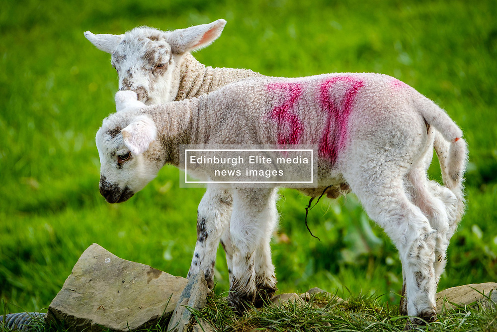 Young lambs playing in the spring sunshine on a farm in the Scottish borders<br /> <br /> (c) Andrew Wilson   Edinburgh Elite media