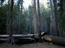 Trees in Yosemite National Park, CA